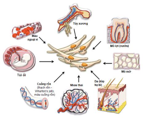 Tế bào gốc tiềm năng lớn