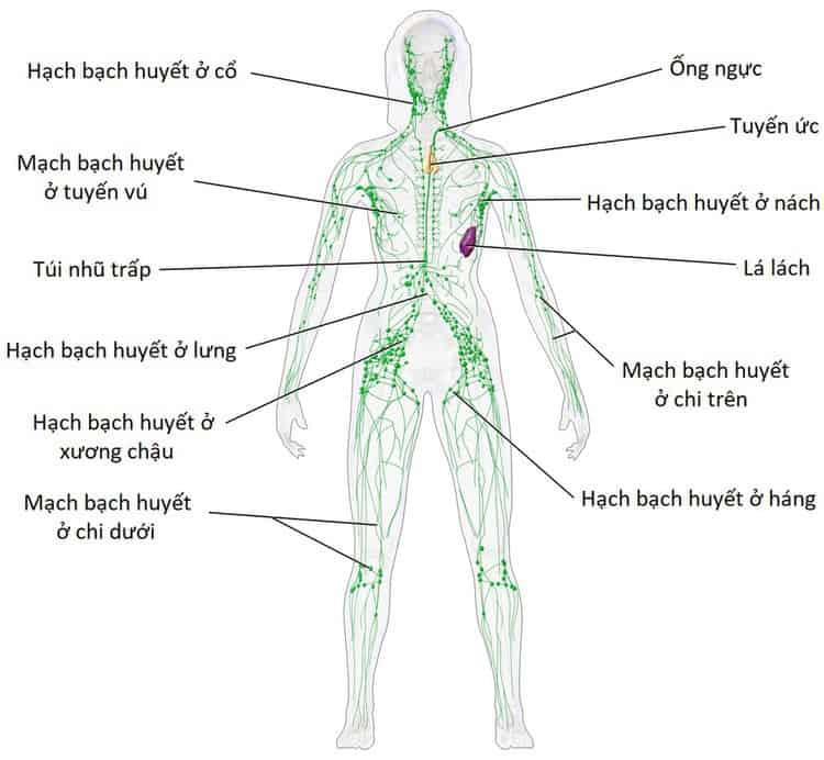 Vị trí hạch bạch huyết, viêm hạch bạch huyết